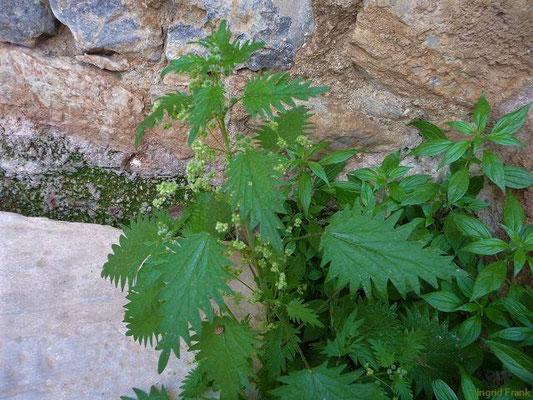 Urtica pilulifera - Pillen-Brennnessel (Türkei)