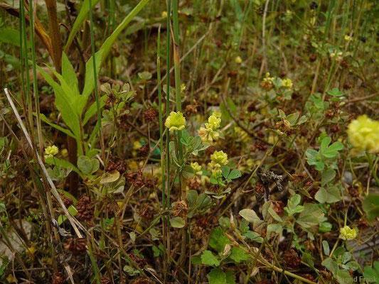 03.07.2012-Trifolium campestre - Feld-Klee