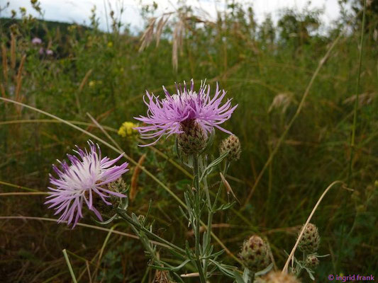 Centaurea stoebe / Stoebe-Flockenblume