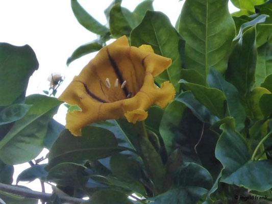 Solandra grandiflora - Goldkelch