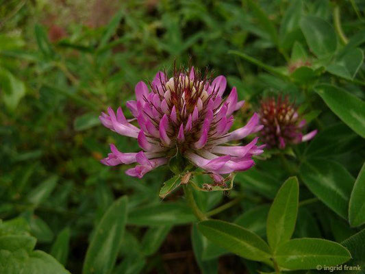 Trifolium medium - Mittlerer Klee