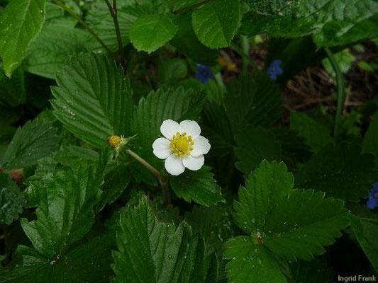 29.04.2011-Fragaria vesca - Wald-Erdbeere