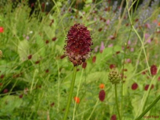 Sanguisorba officinalis / Großer Wiesenknopf (Schlosspark Weinheim, Heilkräutergarten)
