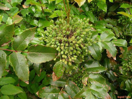 BEEREN SCHWACH GIFTIG:   Unreife Mahonie / Mahonia aquifolium   (18.05.2012)