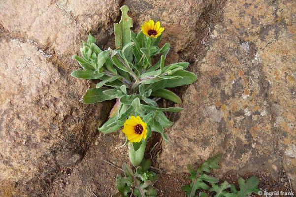 Calendula bicolor - Zweifarbige Ringelblume