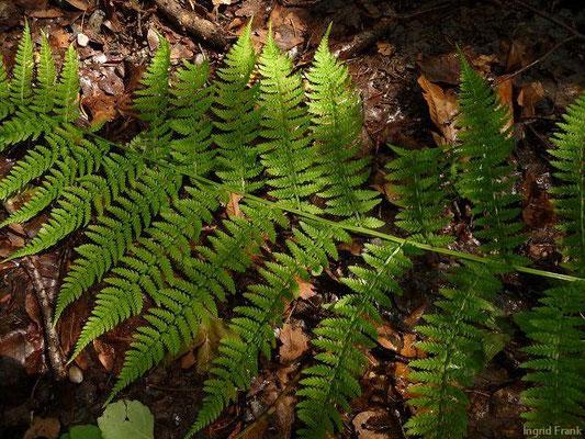 Athyrium filix-femina - Wald-Frauenfarn