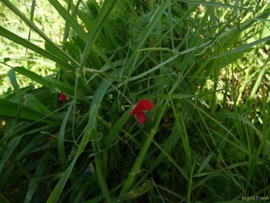 Lathyrus cicera - Rote Platterbse