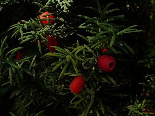 Taxus baccata - Eibe