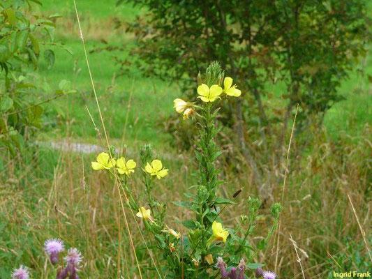 Oenothera biennis aggr. / Zweijährige Nachtkerze