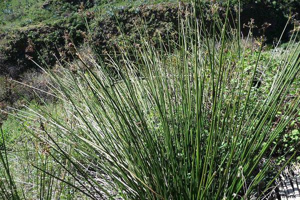 Stechende Binse / Juncus acutus; Heimat: Mittelmeergebiet