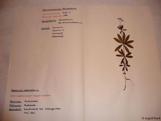 (114) Asperula odorata - Wohlriechender Waldmeister
