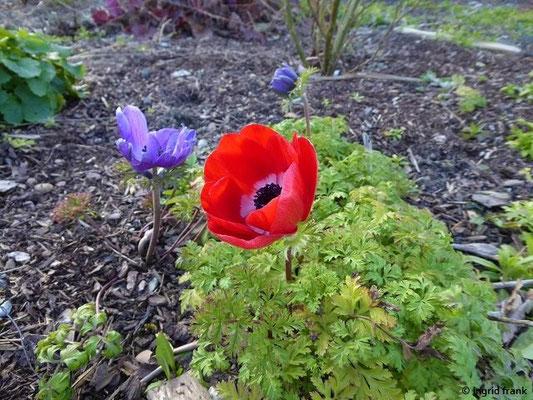 Anemone coronaria - Kronen-Anemone (in einem Privatgarten beim Riedsennhof)