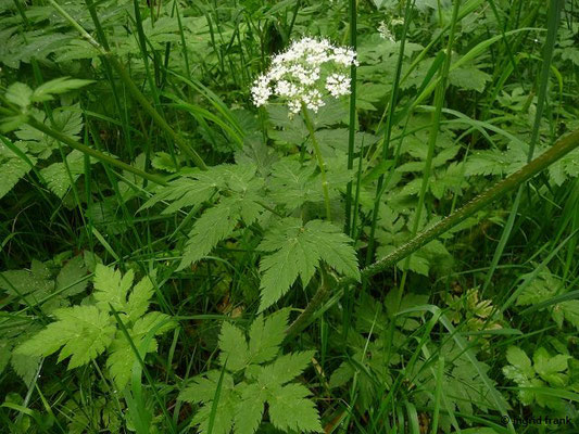 Chaerophyllum hirsutum - Behaarter Kälberkropf    V-VII