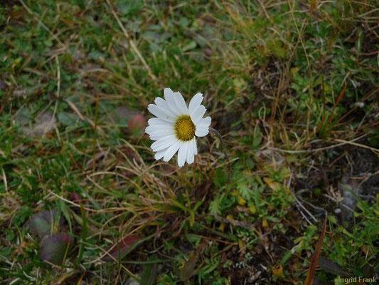 Leucanthemopsis alpina ssp. alpina - Gewöhnliche Alpenmargerite