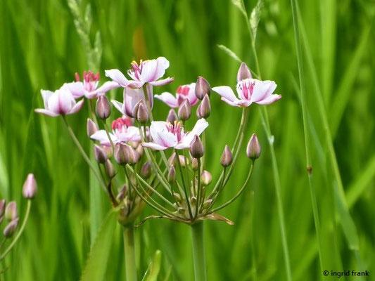 Butomus umbellatus / Schwanenblume