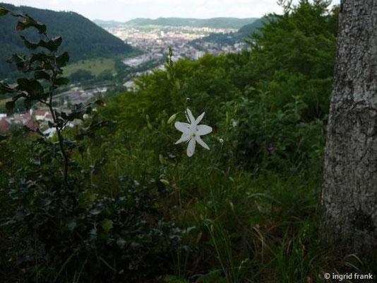Anthericum ramosum - Ästige Graslilie
