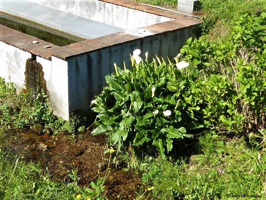 Zantesdeschia in einem Hausgarten
