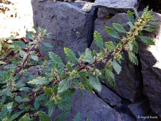 Forsskaolea angustifolia - Schmalblättrige Forsskaolea
