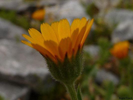 Calendula arvensis - Acker-Ringelblume  (VI-X)
