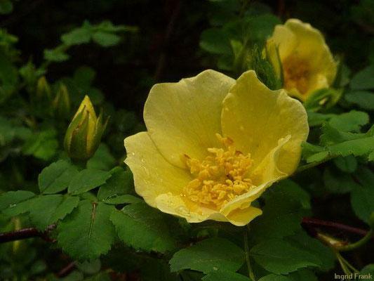 Rosa hugonis - Chinesische Goldrose