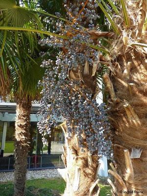 Trachycarpus fortunei - Hanfpalme, Tessinerpalme (Heimat: Burma, M- u. O-China, S-Japan)