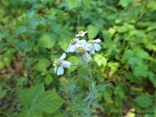 Achillea ptarmica - Sumpf-Schafgarbe