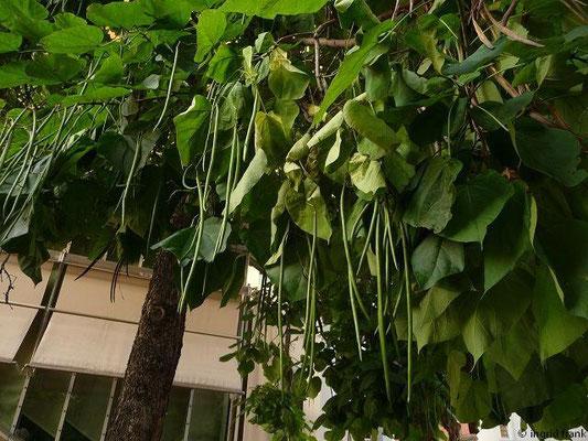 Catalpa bignonioides - Gewöhnlicher Trompetenbaum (Heimat: Östliche USA; in Deutschland in Einbürgerung befindlich)