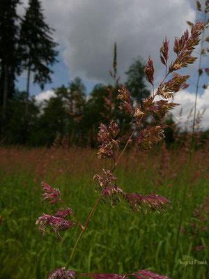 Phalaris arundinacea - Rohr-Glanzgras
