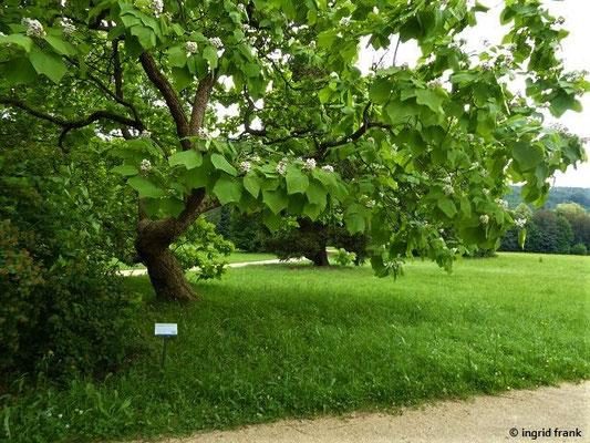 Im Greizer Schlosspark: Catalpa bignonioides - Trompetenbaum