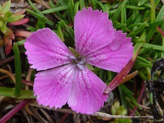 Dianthus glacialis / Gletscher-Nelke  (Kärnten, Innerfragant)  VII-VIII