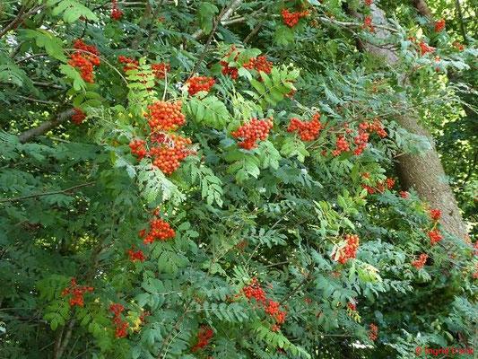 Sorbus aucuparia - Eberesche, Vogelbeere