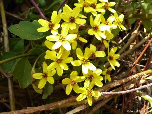 Senecio angulatus - Kantiges Greiskraut    I-XII    (Heimat: Südafrika)