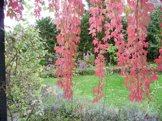 11.10.2009-Parthenocissus quinquefolia - Selbstkletternde Jungfernrebe