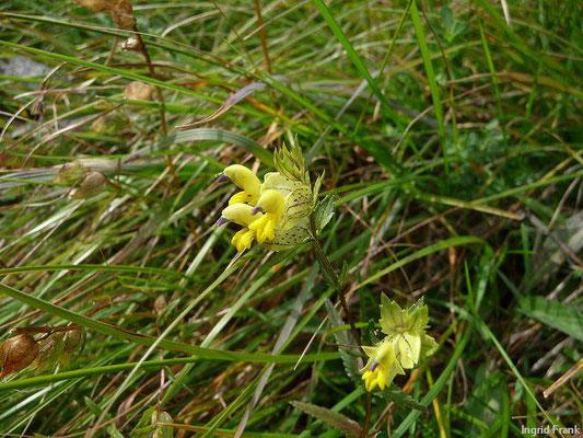 Rhinanthus glacialis - Begrannter Klappertopf (Nationalpark Hohe Tauern)
