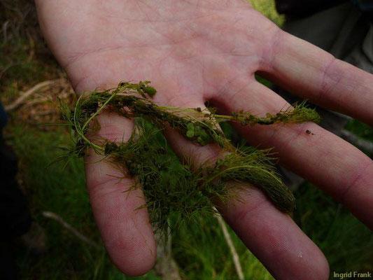 Utricularia australis - Südlicher Wasserschlauch