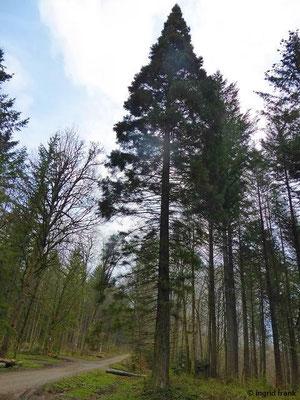 Sequoidendron giganteum - Riesenmammutbaum
