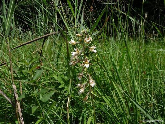 Epipactis palustris / Sumpf-Ständelwurz    VI-VII