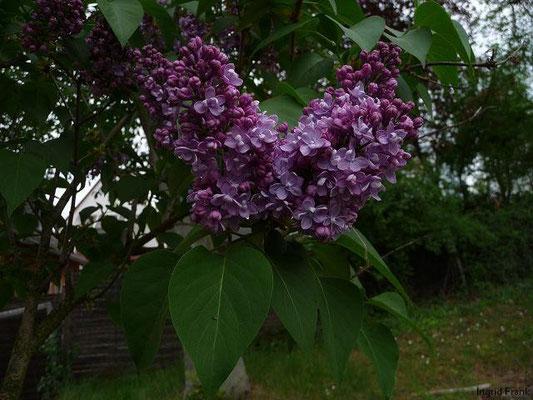 02.05.2010-Syringa vulgaris - Flieder