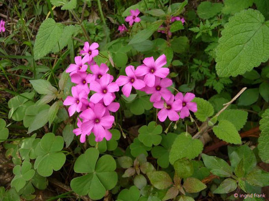 Oxalis articulata / Rosa Sauerklee