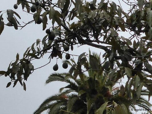 Persea americana - Avocadobaum