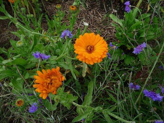 Calendula officinalis - Gewöhnliche Ringelblume