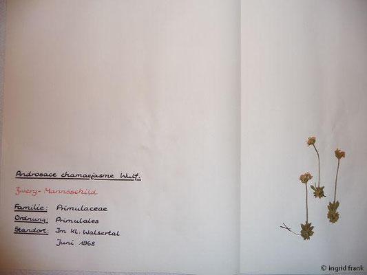 Androsace chamaejasme / Wimper-Mannsschild, Zwerg-Mannsschild