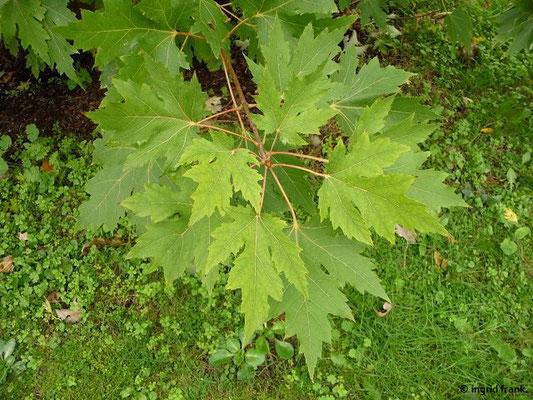 Acer saccharinum - Silber-Ahorn    (III-IV)