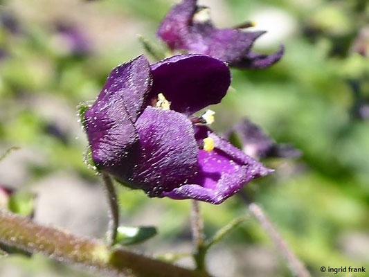 Verbascum phoeniceum - Purpur-Königskerze