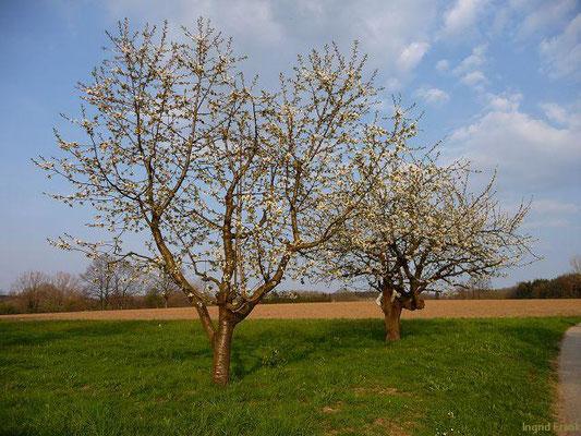 Prunus avium - Süß-Kirsche