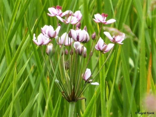 Butomus umbellatus - Schwanenblume, Blumenbinse
