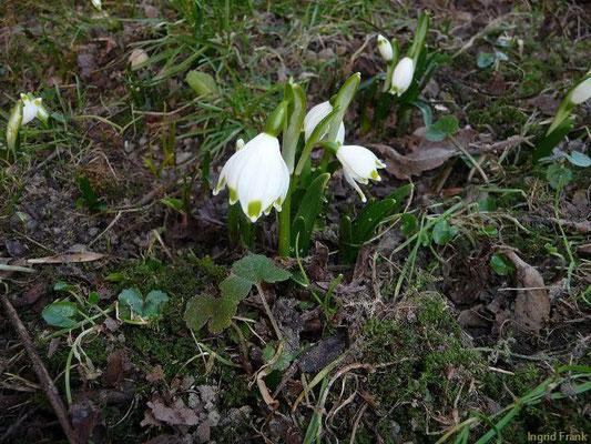 09.02.2011-Leucojum vernum - Märzenbecher, Frühlings-Knotenblume