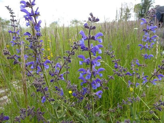 Salvia pratensis - Wiesen-Salbei