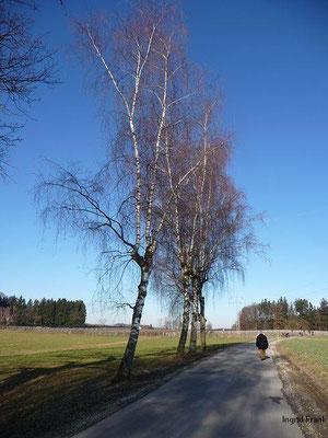 06.02.2011-Betula pendula - Hänge-Birke