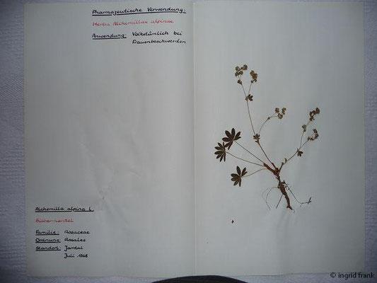(29) Alchemilla alpina - Silbermantel
